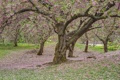 Prunus serrulata or Japanese Cherry Royalty Free Stock Photos