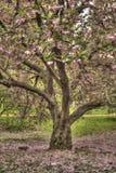 Prunus serrulata or Japanese Cherry Stock Photography