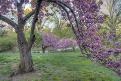 Prunus serrulata or Japanese Cherry Royalty Free Stock Image
