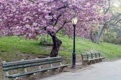 Prunus serrulata or Japanese Cherry Royalty Free Stock Photography