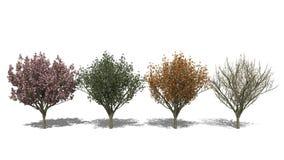 Prunus serrulata 'Kanzan' (Four Seasons) vector illustration