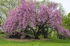 Prunus serrulata 'Kanzan' - Japanese Flowering Cherry Royalty Free Stock Photo