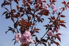 Prunus serrulata Kwanzan in voller Blüte gegen den Himmel lizenzfreies stockbild