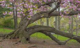 Prunus serrulata lub japończyk wiśnia Fotografia Royalty Free