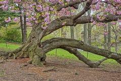 Prunus serrulata lub japończyk wiśnia Zdjęcie Royalty Free