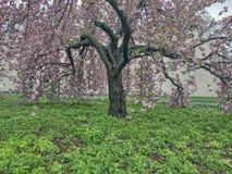 Prunus serrulata lub japończyk wiśnia Zdjęcia Royalty Free