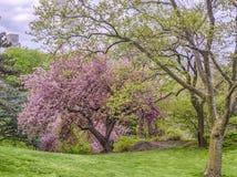 Prunus serrulata lub japończyk wiśnia Obraz Stock