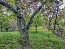 Prunus serrulata lub japończyk wiśnia Obrazy Stock
