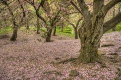 Prunus serrulata oder japanische Kirsche Lizenzfreies Stockfoto