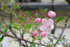 Prunus serrulata. Or Japanese cherry also called hill cherry, oriental cherry or East Asian cherry, is a species of cherry native to China, Japan, and Korea stock photo
