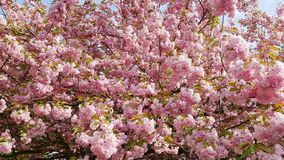 Japanese cherry in full bloom Stock Images