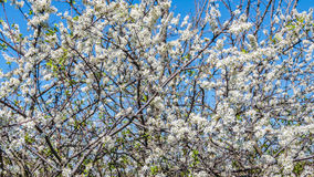 Prunus species flowers Stock Photography