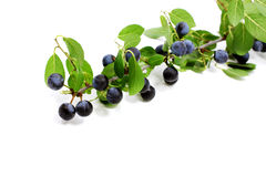 Prunus spinosa Lizenzfreies Stockfoto