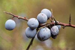 Prunus spinosa. Has medical utility Royalty Free Stock Images