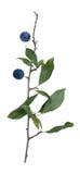 Prunus spinosa Fotografia Stock Libera da Diritti