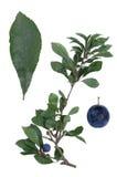 Prunus spinosa Immagini Stock