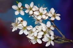 Prunus spinosa Royalty Free Stock Image