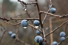 Prunus Spinosa, Branch, Berry, Blueberry Royalty Free Stock Photos