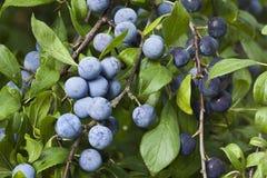 Prunus Spinosa Branch Royalty Free Stock Photos