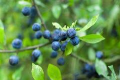 Prunus spinosa close-up Stock Photo