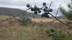 Prunus spinosa, o cespuglio del prugnolo stock footage
