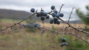 Prunus spinosa, o cespuglio del prugnolo archivi video