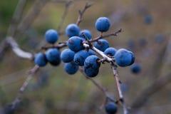 Prunus spinosa oder Schlehdornbusch Stockfotografie