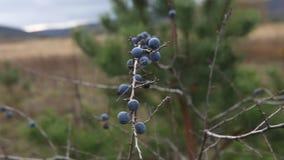 Prunus spinosa oder Schlehdornbusch stock video footage