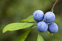 Prunus Spinosa Stock Photo