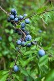 Prunus spinosa zakończenia widok Obraz Royalty Free