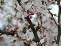 Prunus tomentosa della ciliegia di Nanchino, ciliegia coreana, ciliegia manciù, ciliegia lanuginosa, ciliegia cinese, ciliegia ci Fotografia Stock