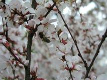 Prunus tomentosa della ciliegia di Nanchino, ciliegia coreana, ciliegia manciù, ciliegia lanuginosa, ciliegia cinese, ciliegia ci Fotografia Stock Libera da Diritti