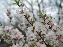 Prunus tomentosa della ciliegia di Nanchino, ciliegia coreana, ciliegia manciù, ciliegia lanuginosa, ciliegia cinese, ciliegia ci Immagini Stock