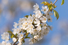 Prunus Tree Blossom On Blue Sky Stock Photo
