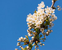Prunus Tree Blossom Branch On Clear Blue Sky Royalty Free Stock Photography