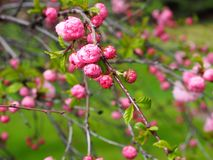 Prunus Triloba ή διπλό ανθίζοντας δαμάσκηνο Στοκ φωτογραφία με δικαίωμα ελεύθερης χρήσης