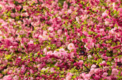 Free Prunus Triloba Blossoms. Royalty Free Stock Photos - 86299488