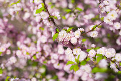 Prunus triloba Busch in der Blüte Stockfotografie