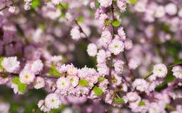 Prunus triloba Busch in der Blüte mit ihr ` s erstaunlicher Geruch und tende Stockbilder