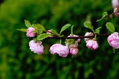 Prunus triloba - flowering almond Stock Image