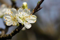 Prunus - vita blommor royaltyfri bild