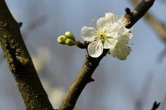 Prunus - vita blommor arkivfoto