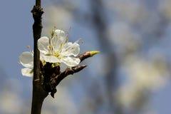 Prunus - vita blommor arkivfoton