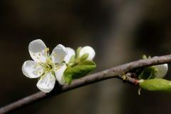Prunus - vita blommor fotografering för bildbyråer