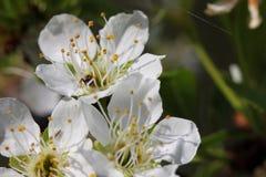 Prunus - vita blommor arkivbild
