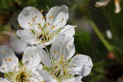 Prunus - White flowers Stock Photography
