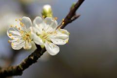 Prunus - White flowers Stock Photo