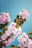 Prunus yedoensis Stock Image