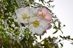 Prunus yedoensis in Osaka`s Slum area. Prunus yedoensis in Osaka`s Slum area Japan Stock Photo