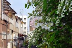 Prunus yedoensis in Osaka`s Slum area. Prunus yedoensis in Osaka`s Slum area Japan Stock Photography
